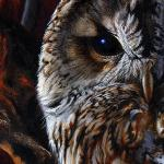 Detail Image - tawny owl - art by Geoff Taylor