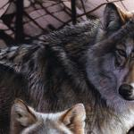Detail Image - wolves - art by Geoff Taylor